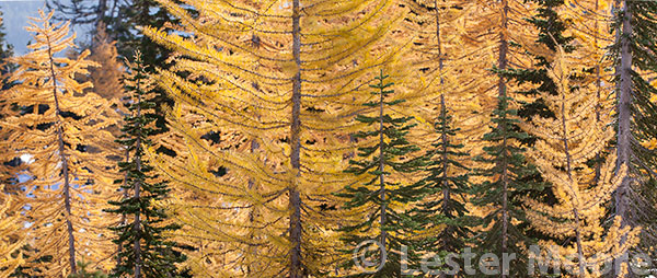 Alpine larch, headlight Basin, Alpine Lakes Wilderness, WA
